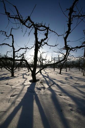 apple-tree-silhouettes