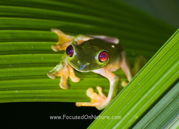 Parachuting Red-eyed Tree Frog