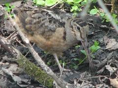 Darn good pic of woodcock no 3