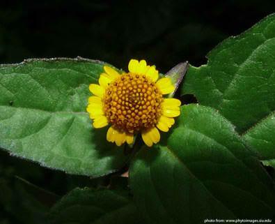 bulek plant