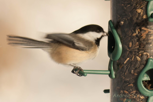 Black-capped chickadee -12.jpg