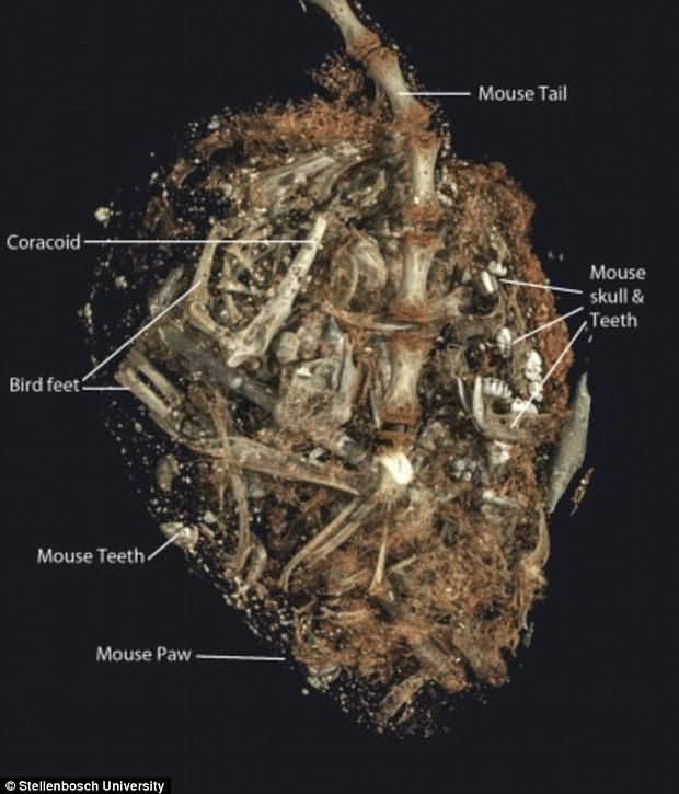 Detalle del tracto digestivo del ave.