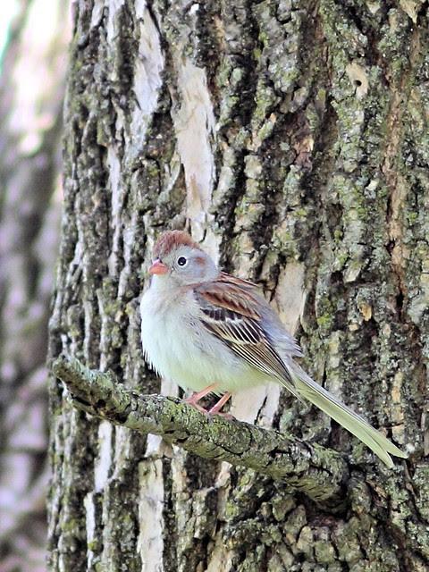 Field Sparrow 2-20130508