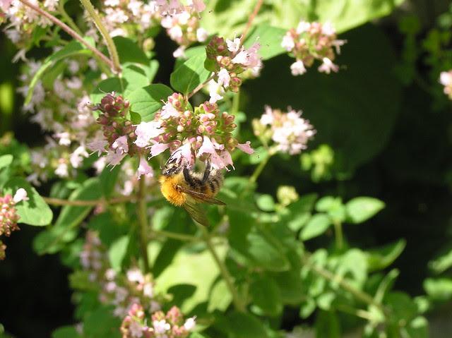 Bumblebee, Bombus schrencki