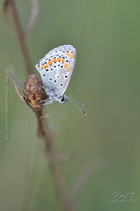 Polyommatus icarus ♂