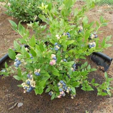 Blueberries Grown at Home