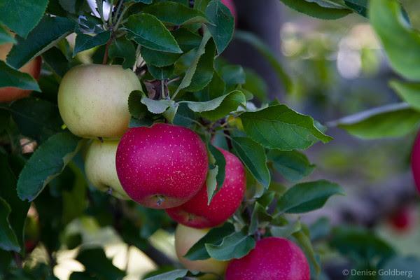 apples, unpicked