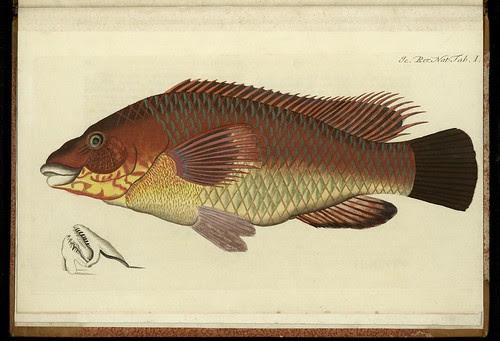 'Labrus Bergylta' by Peder Ascanius -1767 - Icones rerum naturalium