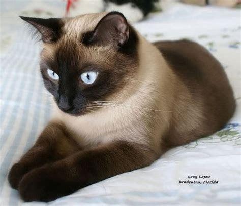 Siamese Cat Ginger British Shorthair
