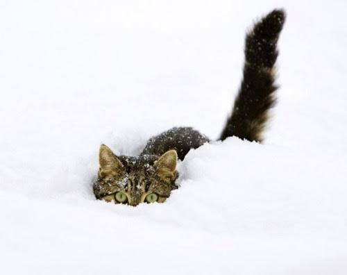 animal, cat, cute, kitten, snow