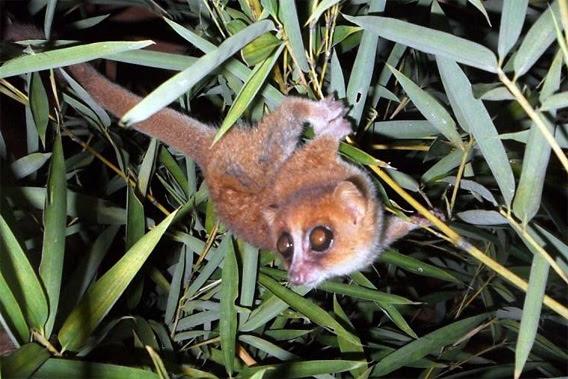 Microcebus marohita mouse lemur.