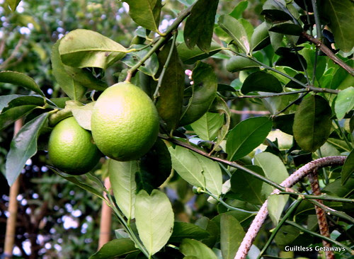 organic-american-lemon-costales-farm-laguna-philippines.jpg