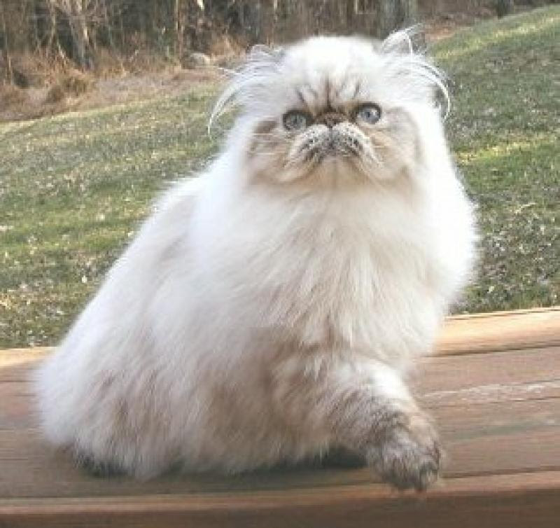 Pictures Of Himalayan Kittens Pictures Of Animals 2016