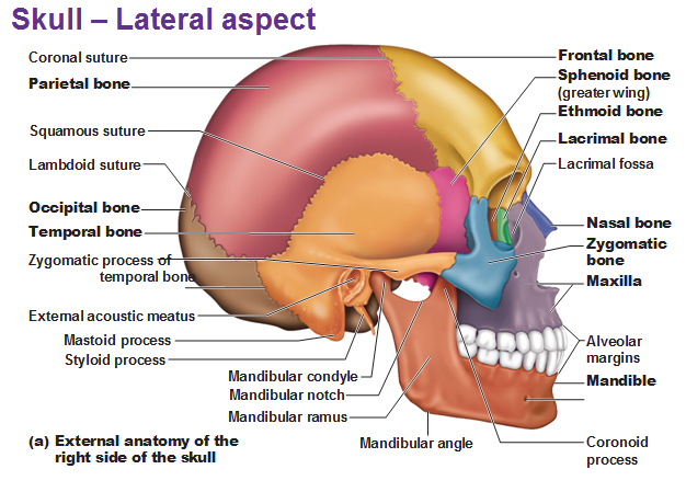 external anatomy of the lateral skull right side