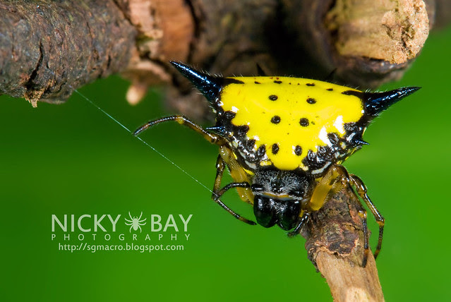 Hasselt's Spiny Back Orb Weaver (Gasteracantha hasselti) - DSC_5436