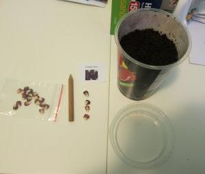 Corn Seed Start