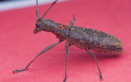 Longhorn beetle Gnoma subfasciata IMG_6176merged copy