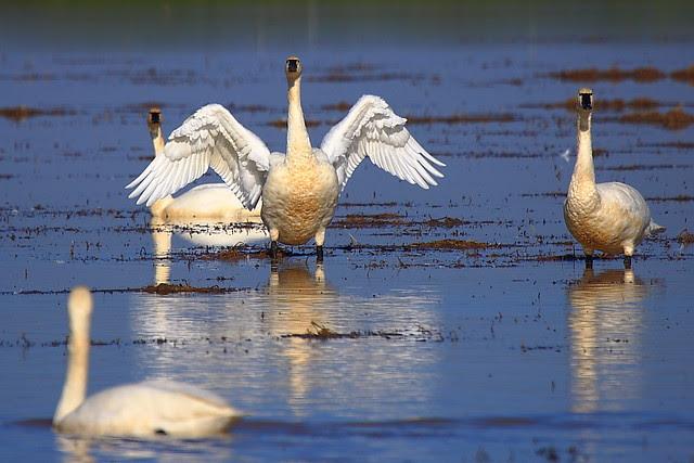 IMG_9212 Tundra Swan, Yuba County, CA