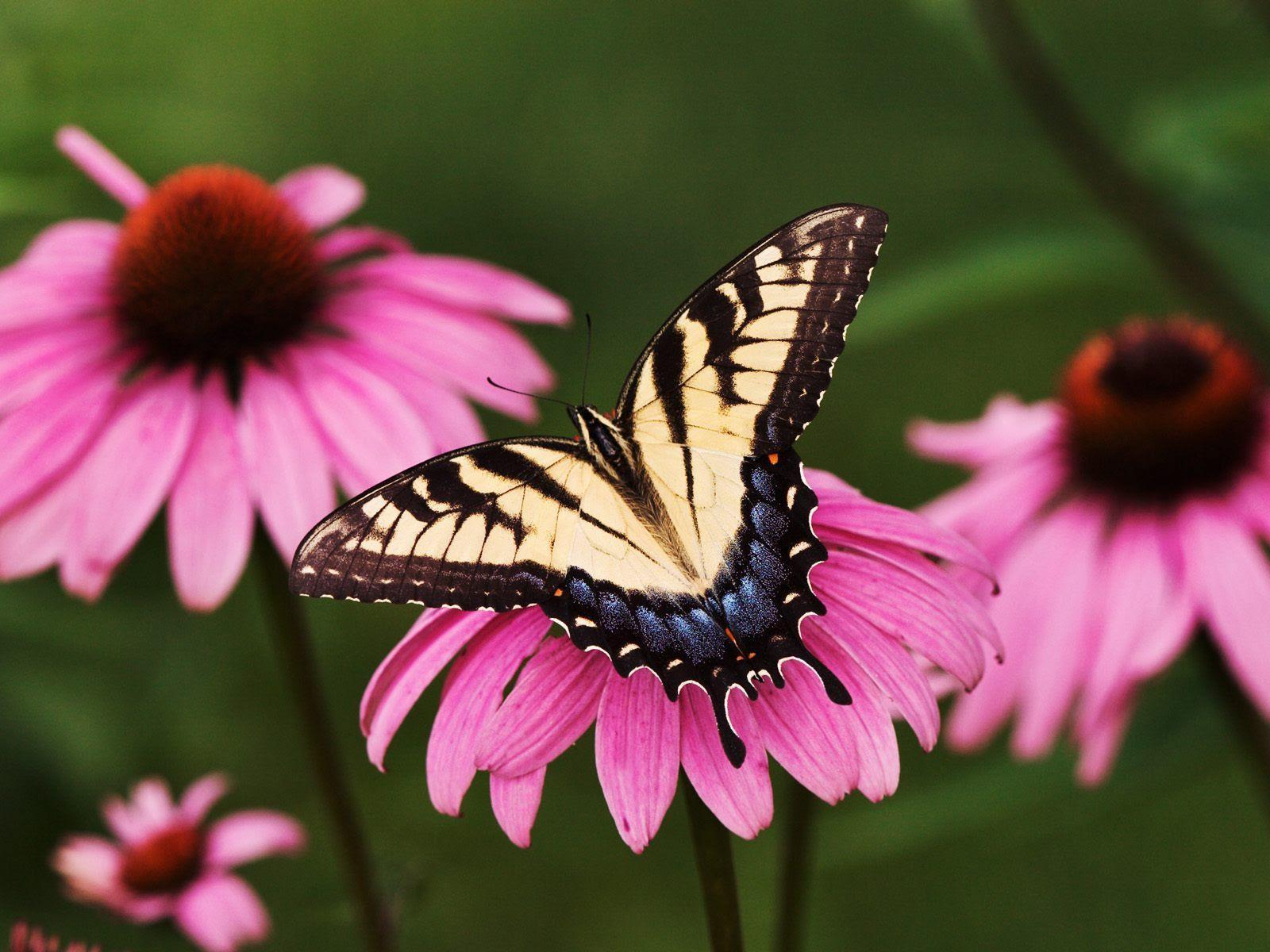 Beautiful Butterflies - Butterflies Wallpaper (9481734 ...