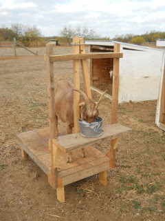 Goat Milking Stand in Actions