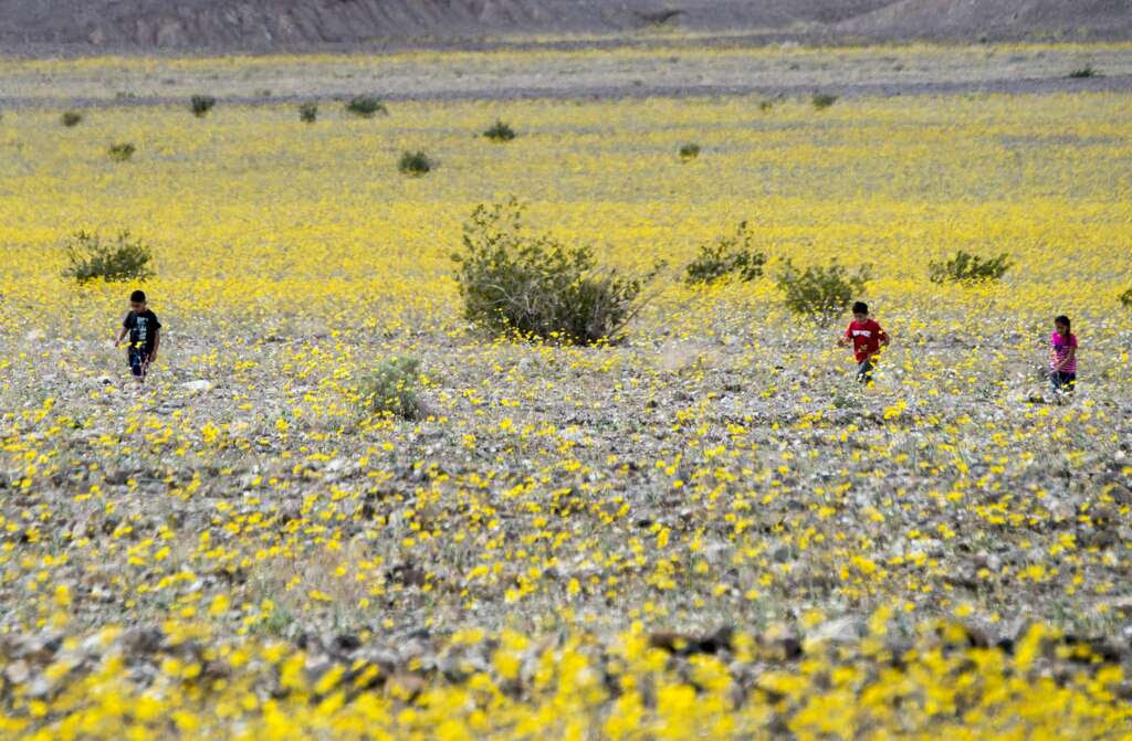 "Children walk among wildflowers in Death Valley National Park, in Death Valley, California, March 3, 2016. Unusally heavy rainfall in October trigged a ""super bloom,"" carpeting Death Valley National Park, the hottest and driest place in North America, in gold, purple, white and pink. The bloom is the parks largest in a decade.  Photo: ROBYN BECK/AFP/Getty Images"