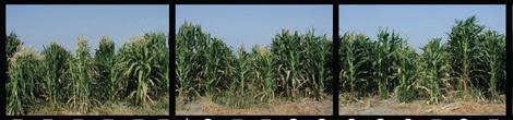 Campo de maíz de la variedad B73. | Science