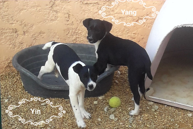 Yin and Yang – 3 month old male and female Cross-Breeds