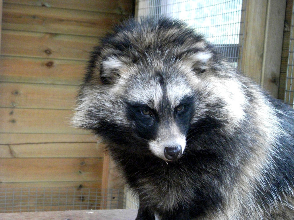 Raccoon Dog Raccoon