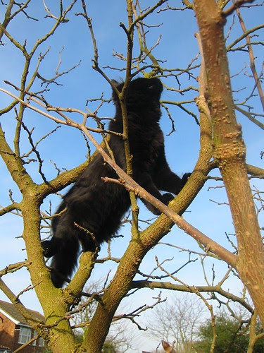 Raven; climbs the mulberry tree.