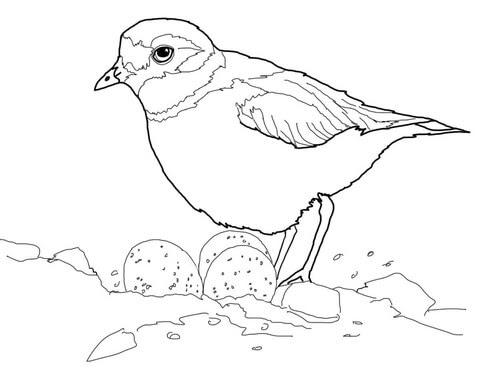 Dibujo De Frailecillo Silbador Con Huevos En El Nido Para Colorear