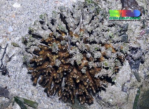 Half dead Cauliflower coral (Pocillopora sp.) half dead from bleaching?