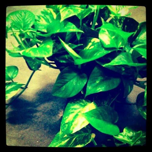 devils ivy
