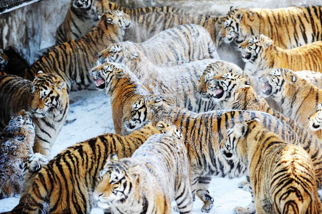 The Siberian tigers, primarily found in Russia and some parts of China and North Korea, use their distinctive coats as camouflage. With less human density in the northern forests, they have enough room to roam around freely.