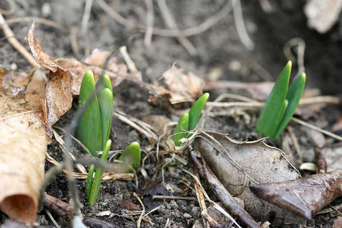 daffodil sprouts 052
