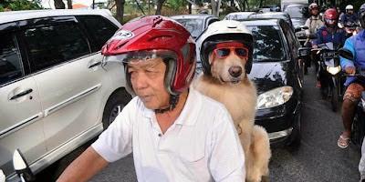 Anjing Asal Surabaya Ini Bisa Naik Motor