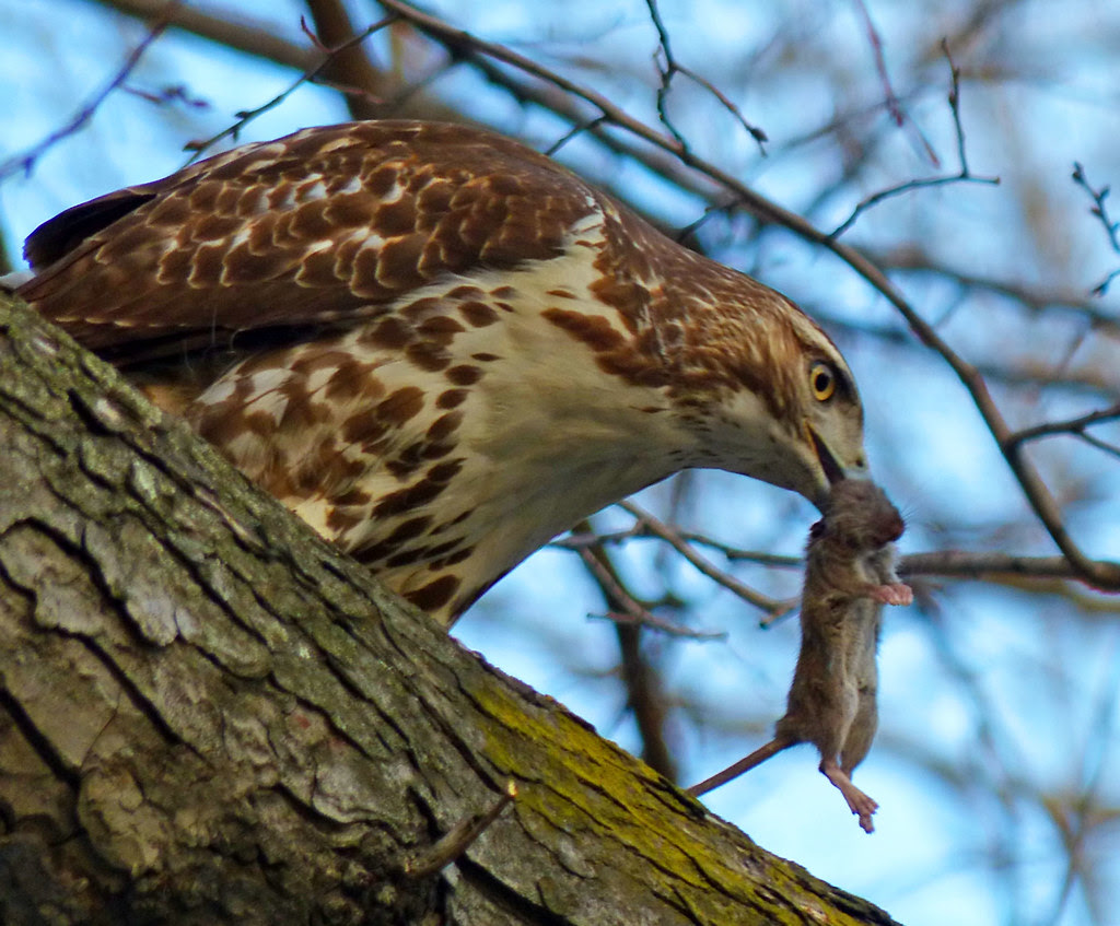 Red tail with mouse in Tompkins Square
