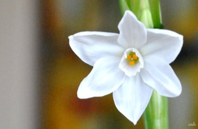 Hoa thủy tiên trắng (2)