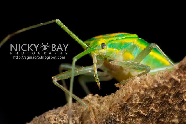 Mirid Bug (Miridae) - DSC_5712