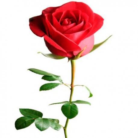 Rosa Roja Floricultura De Nayarit