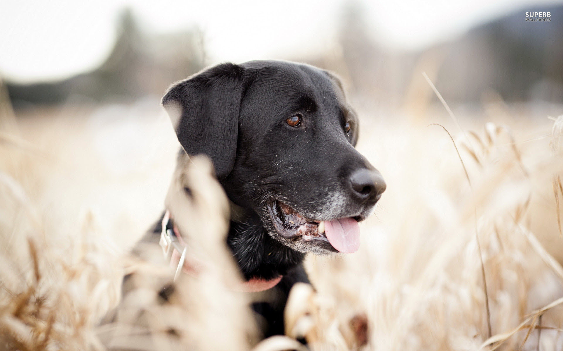 Black Lab Puppies for sale in Hawaii USA