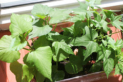 sweet potato sprouts 137