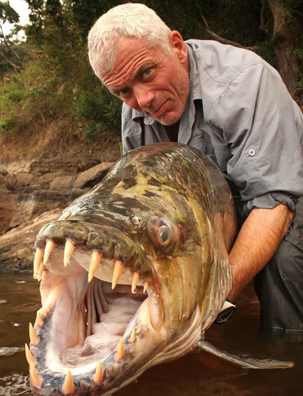 Biólogo britânico Jeremy Wade segura exemplar de peixe-tigre-golias (Foto: Caters)
