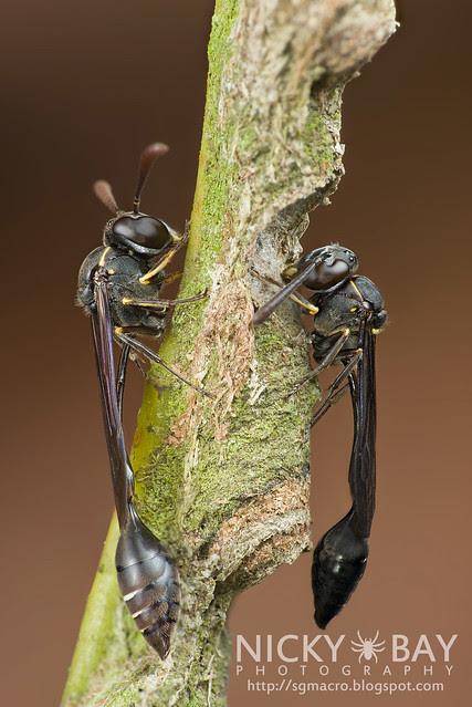 Wasps (Apocrita) - DSC_7283