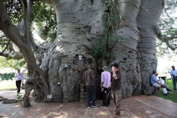 Στο εσωτερικό ενός ζωντανού δέντρου 6.000 ετών (7)