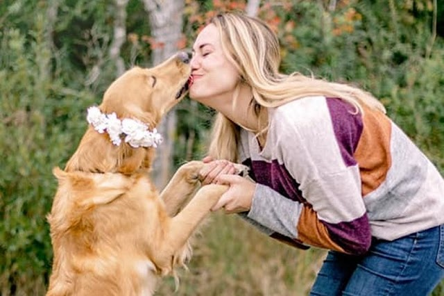 Momen Pemotretan Untuk Anjing Golden Retriever Yang Sedang Hamil - Bengkelhoki