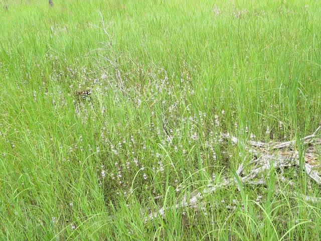 hyssop hedge-nettle