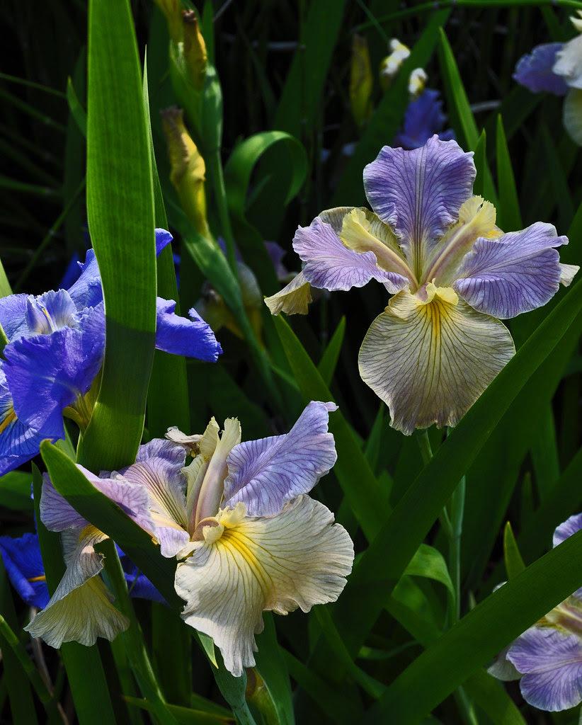 Louisiana Iris (3)