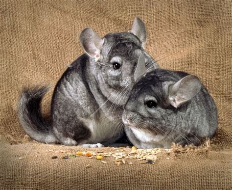 Chinchillas for beginners   Pets4Homes
