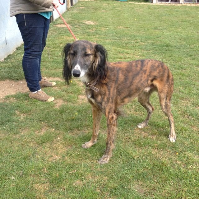 Rufus – 3-4 year old male Saluki Cross