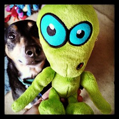 Who's the real alien here? #coonhoundmix #dogtoys Stay tuned for our upcoming #review  #dogstagram #alien #toocute #dogs